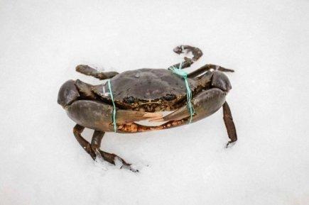 Live Mud Crab (1-1.1kg)